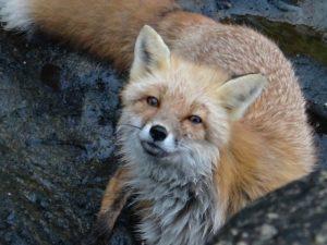 Alaska - Fox - Deltana Outfitters Spring Bear Hunt