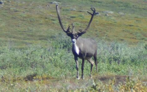 alaska_caribou_hunting